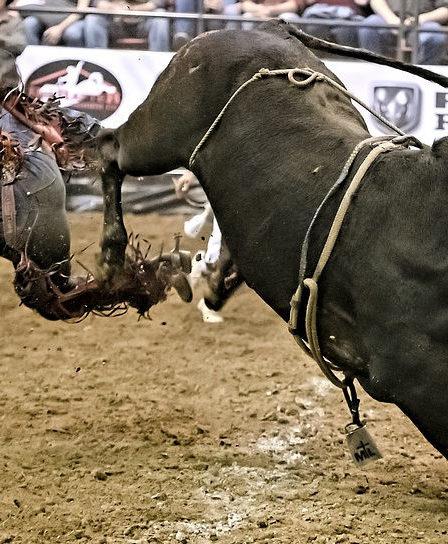 taureau et cavalier éjecté